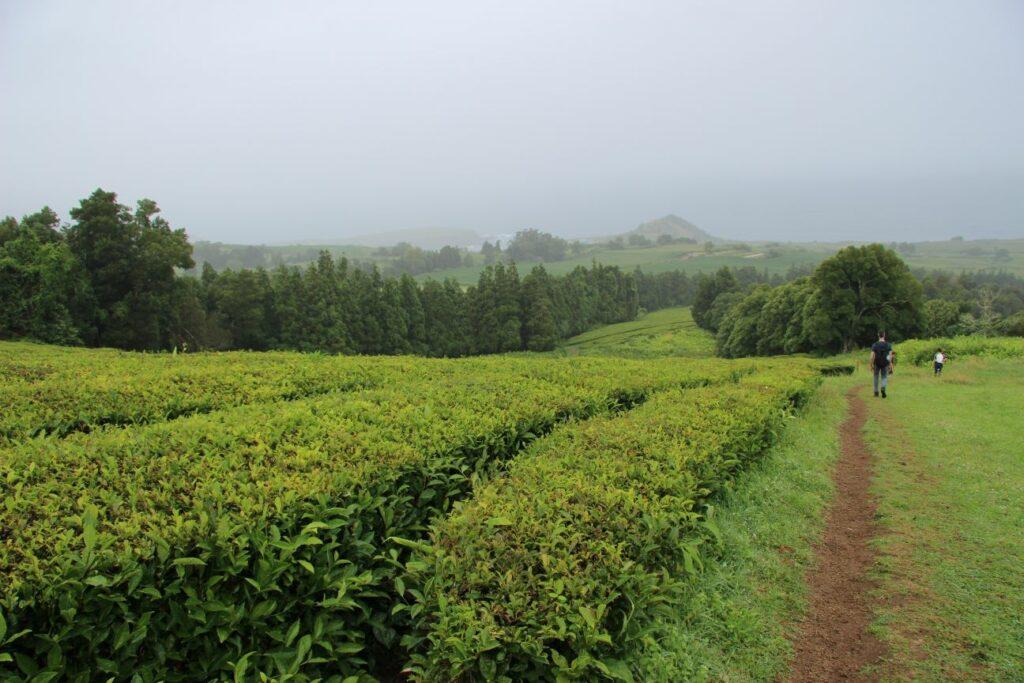 סאו מיגל Gorreana Tea Factory האיים האזוריים